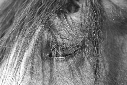 Close up view of Clydesdale