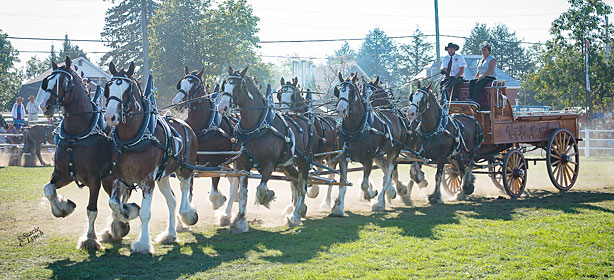 Eight horse hitch of Clydesdales