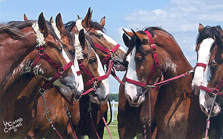 Line up of Clydesdales