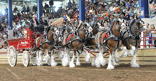 Six horse hitch of Clydesdales