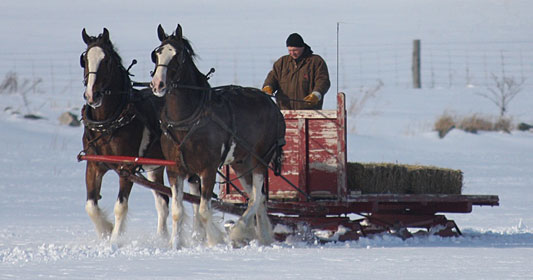 Team of Clydesdales